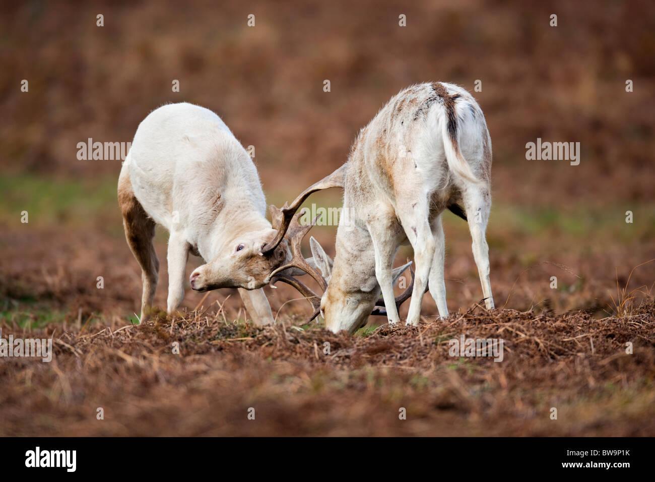 Fallow Deer; Dama dama; stags rutting; - Stock Image