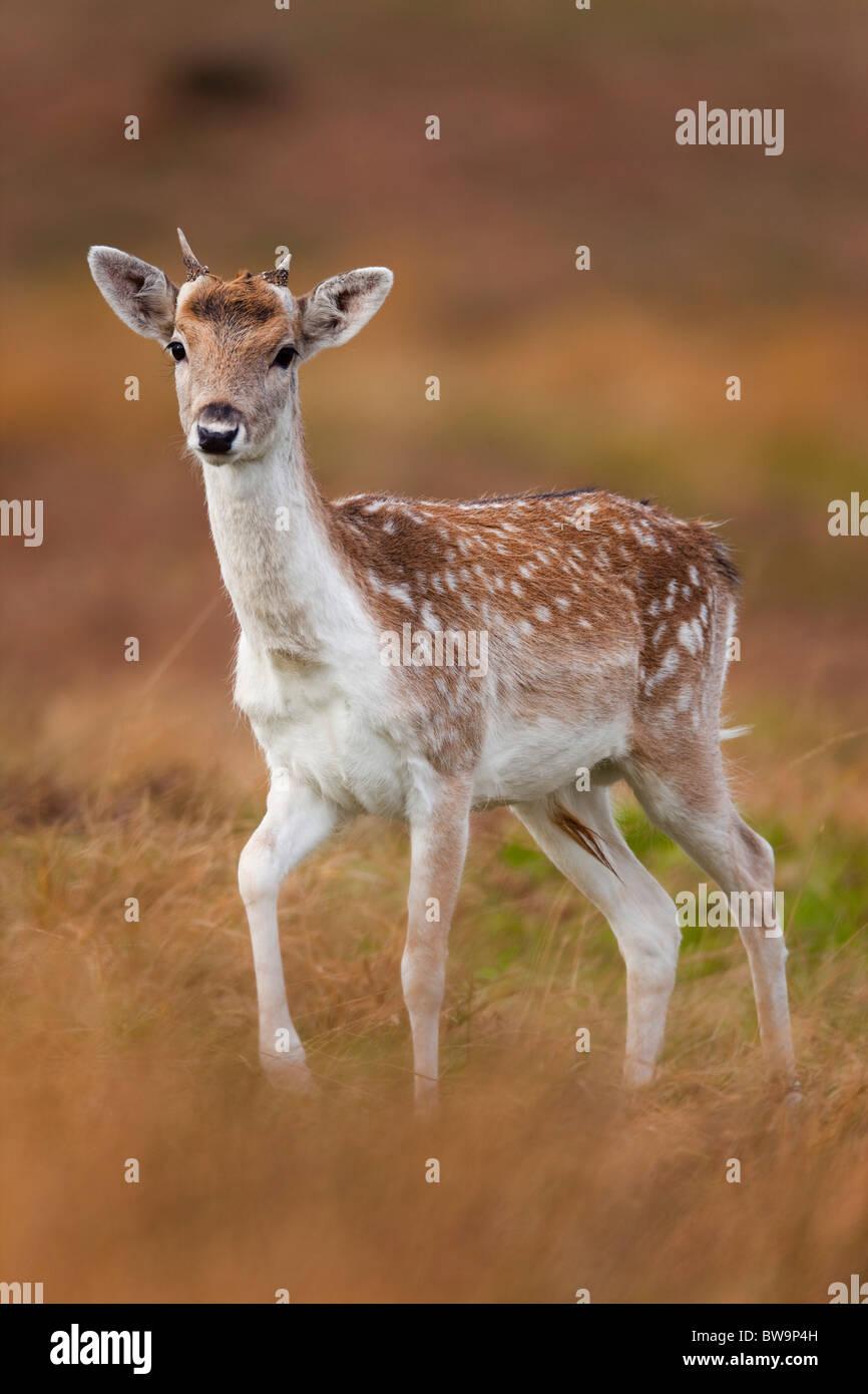Fallow Deer; Dama dama; young buck; - Stock Image