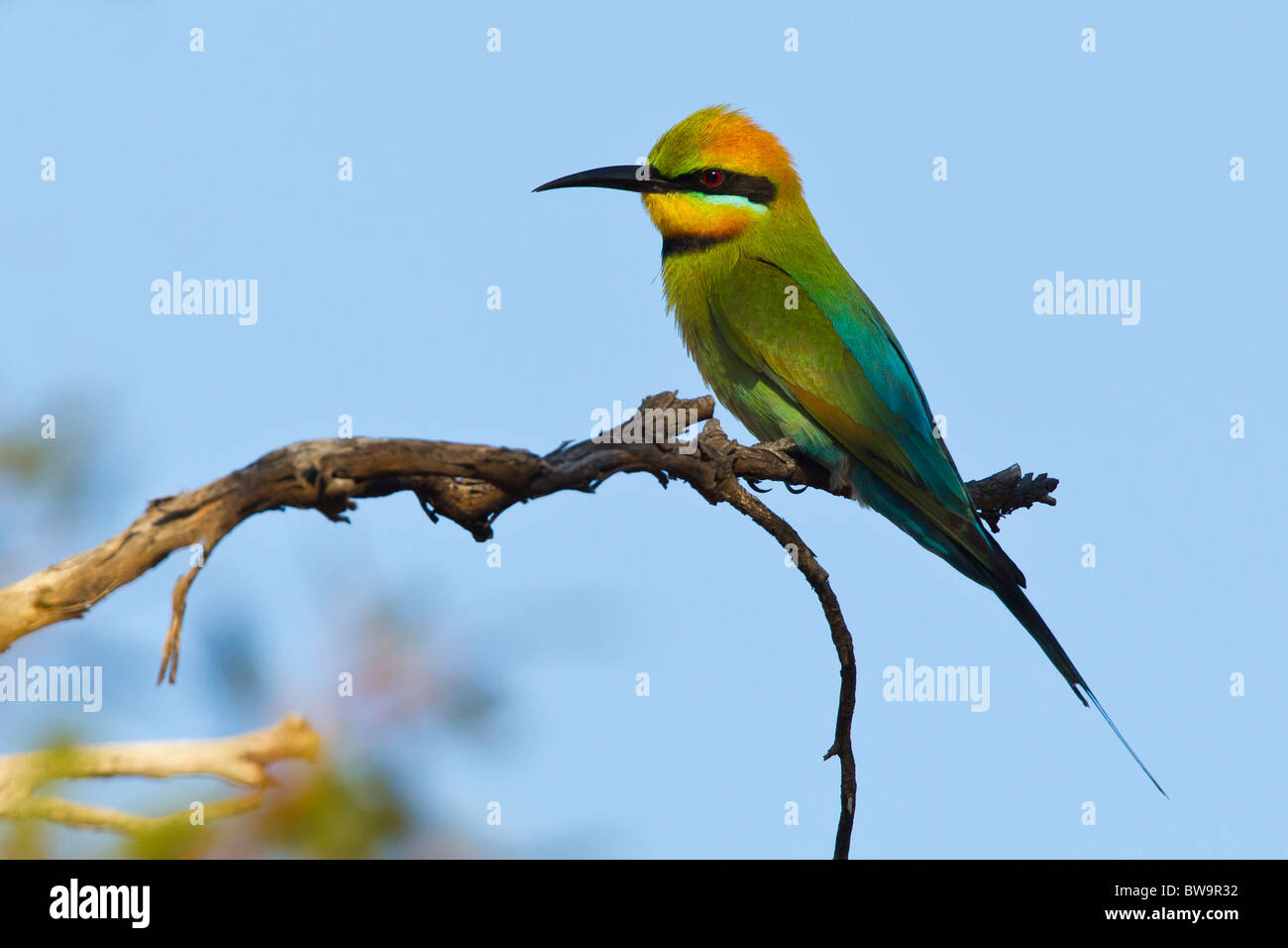 RAINBOW BEE-EATER PERCHED ON A GNARLED BRANCH - Stock Image
