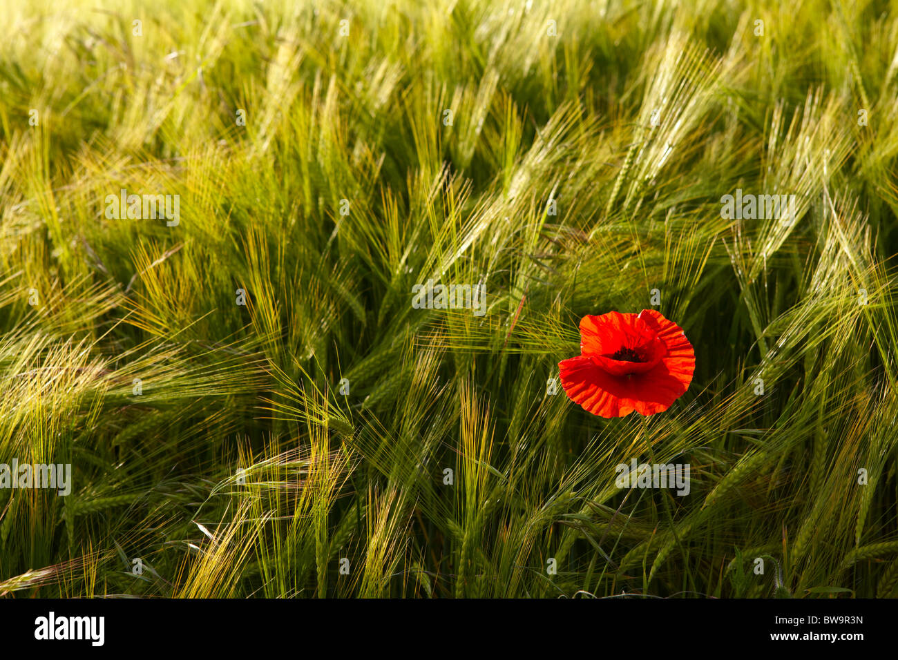 Single poppy in a barley field - Stock Image