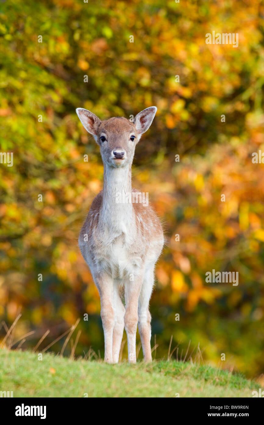 Fallow Deer; Dama dama; female; - Stock Image