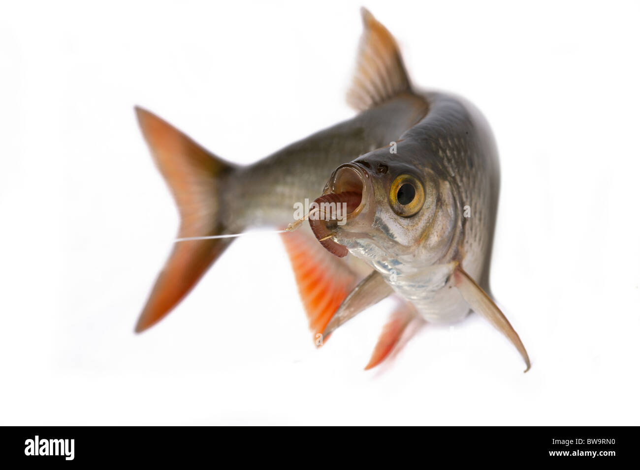Common rudd most widespread fresh-water fish in territory of Asia and Europe. - Stock Image