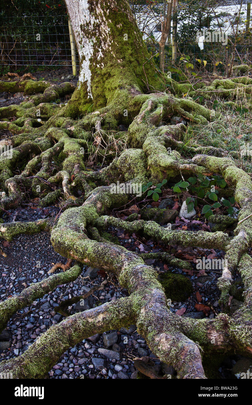 Gnarled tree root, Derwentwater, Cumbria - Stock Image