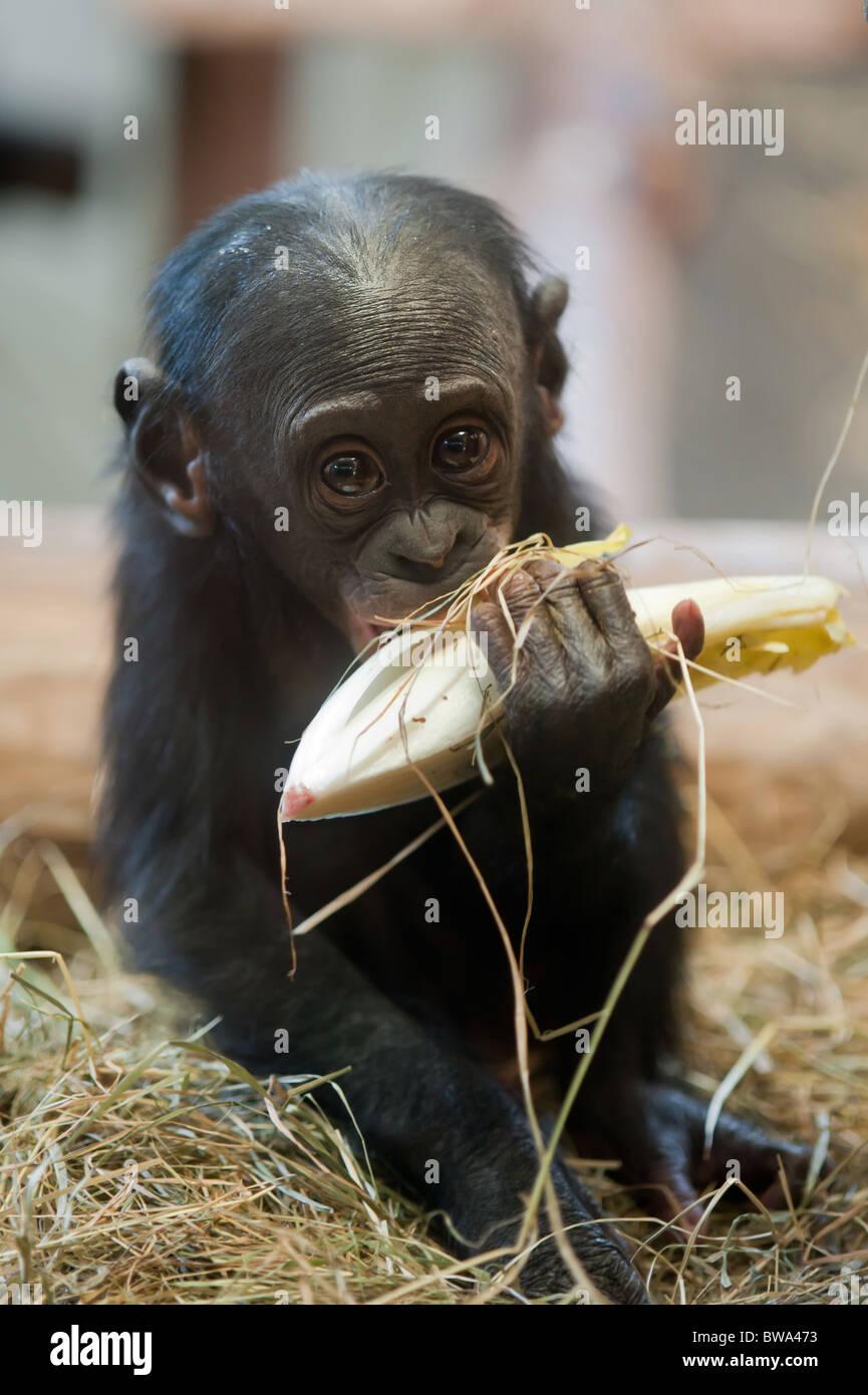 Cute baby Bonobo monkey (Pan paniscus) - Stock Image