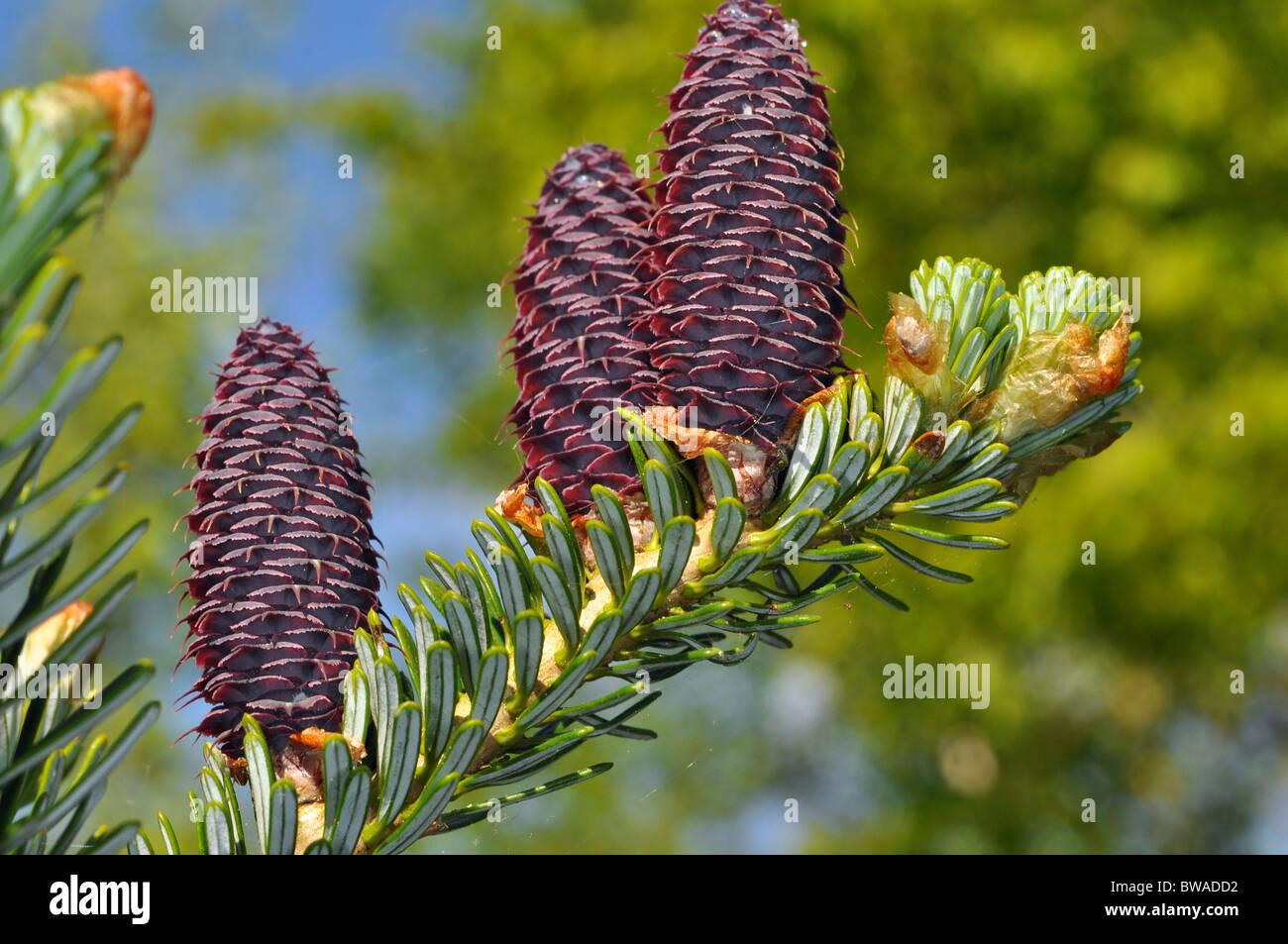 Abies koreana Blue cone fir - Stock Image