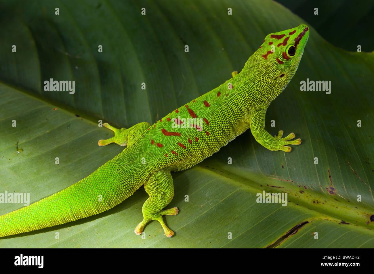 Giant Madagascar day gecko on banana leaf - Stock Image
