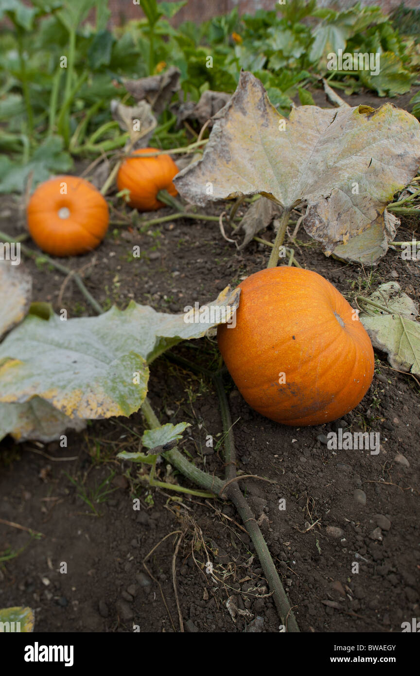 how to tell when pumpkins are ready