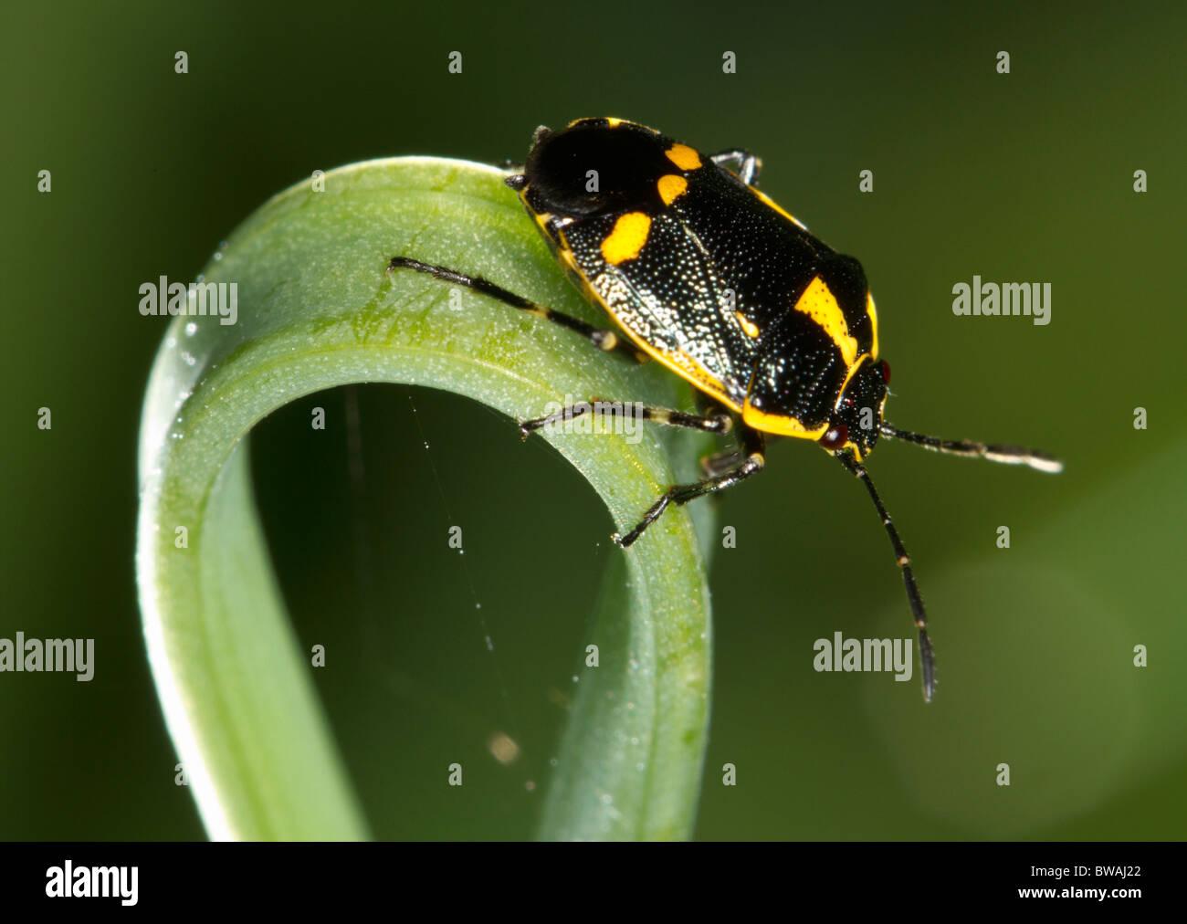 Black and yellow shield bug