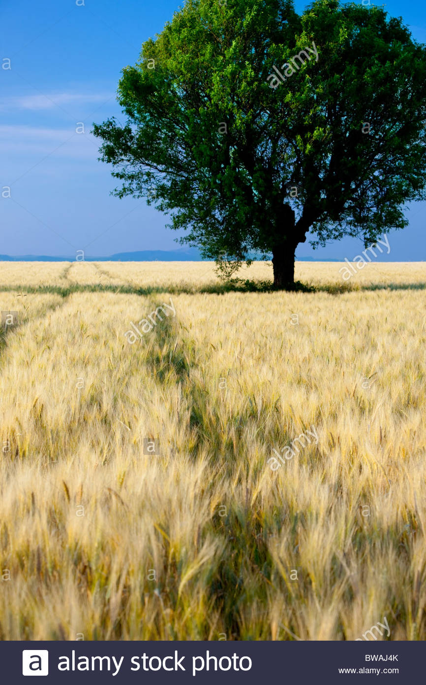 Lone tree in field of barley on the Valensole Plateau, Provence France Stock Photo