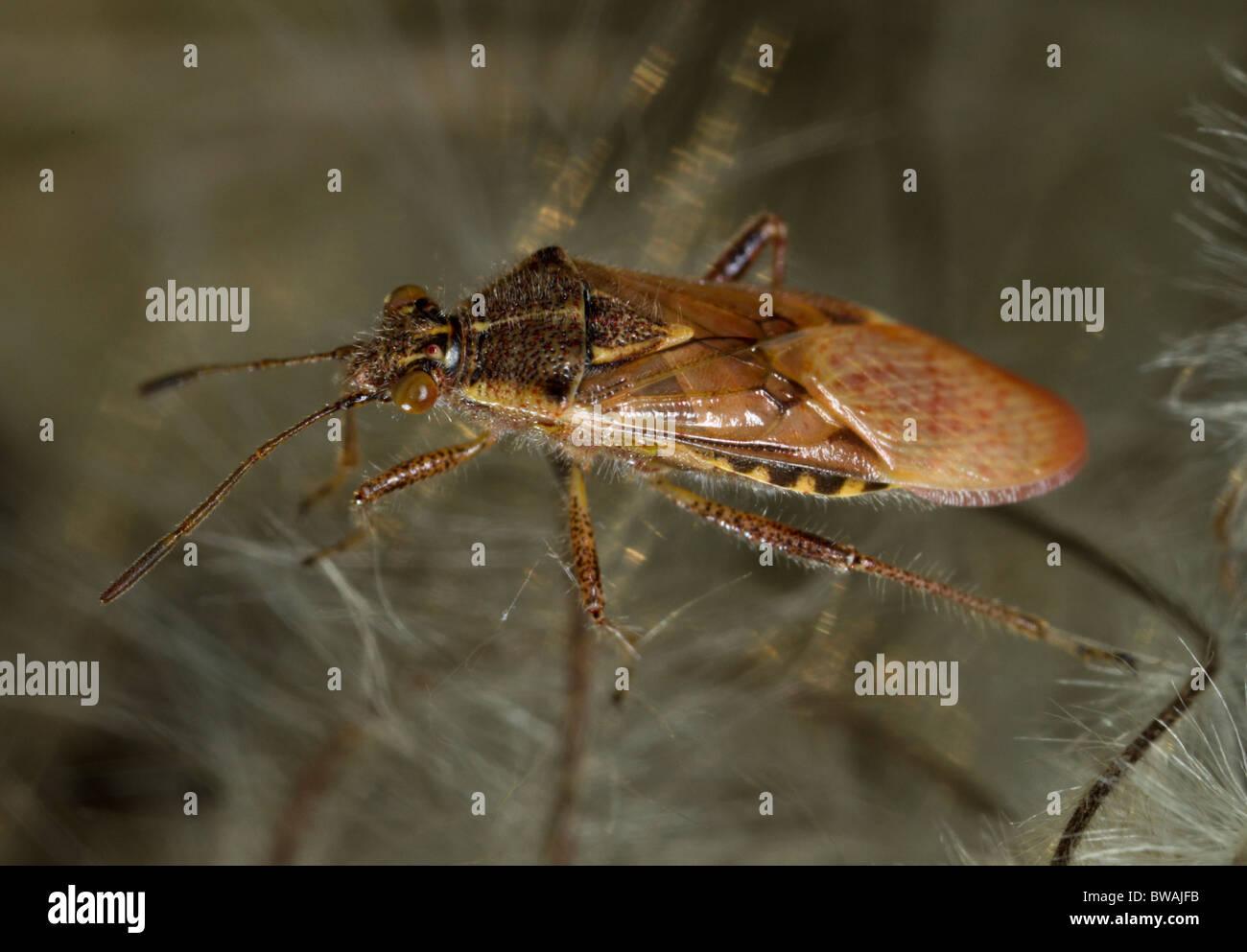 Capsid or mirid bug - Stock Image