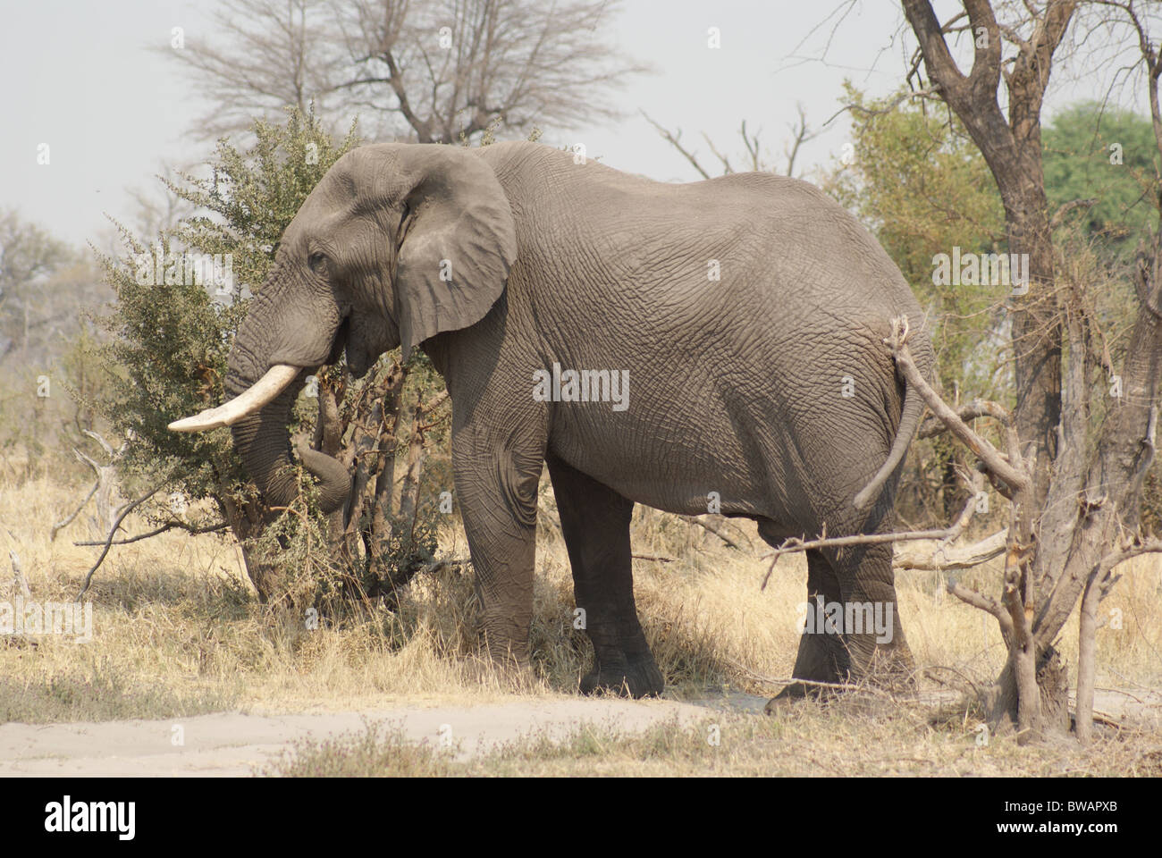 African Elephant cow standing between trees in Botswana - Stock Image