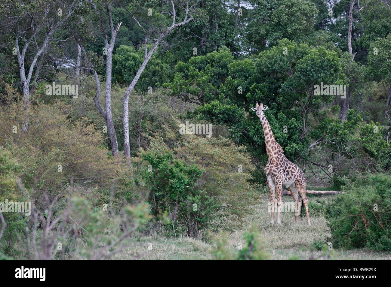 Masai Mara giraffe, Kenya. Stock Photo
