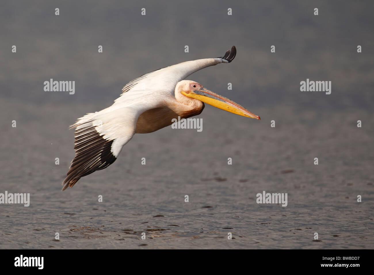 Great White Pelican in flight, Lake Nakuru Nationalpark, Kenya. - Stock Image