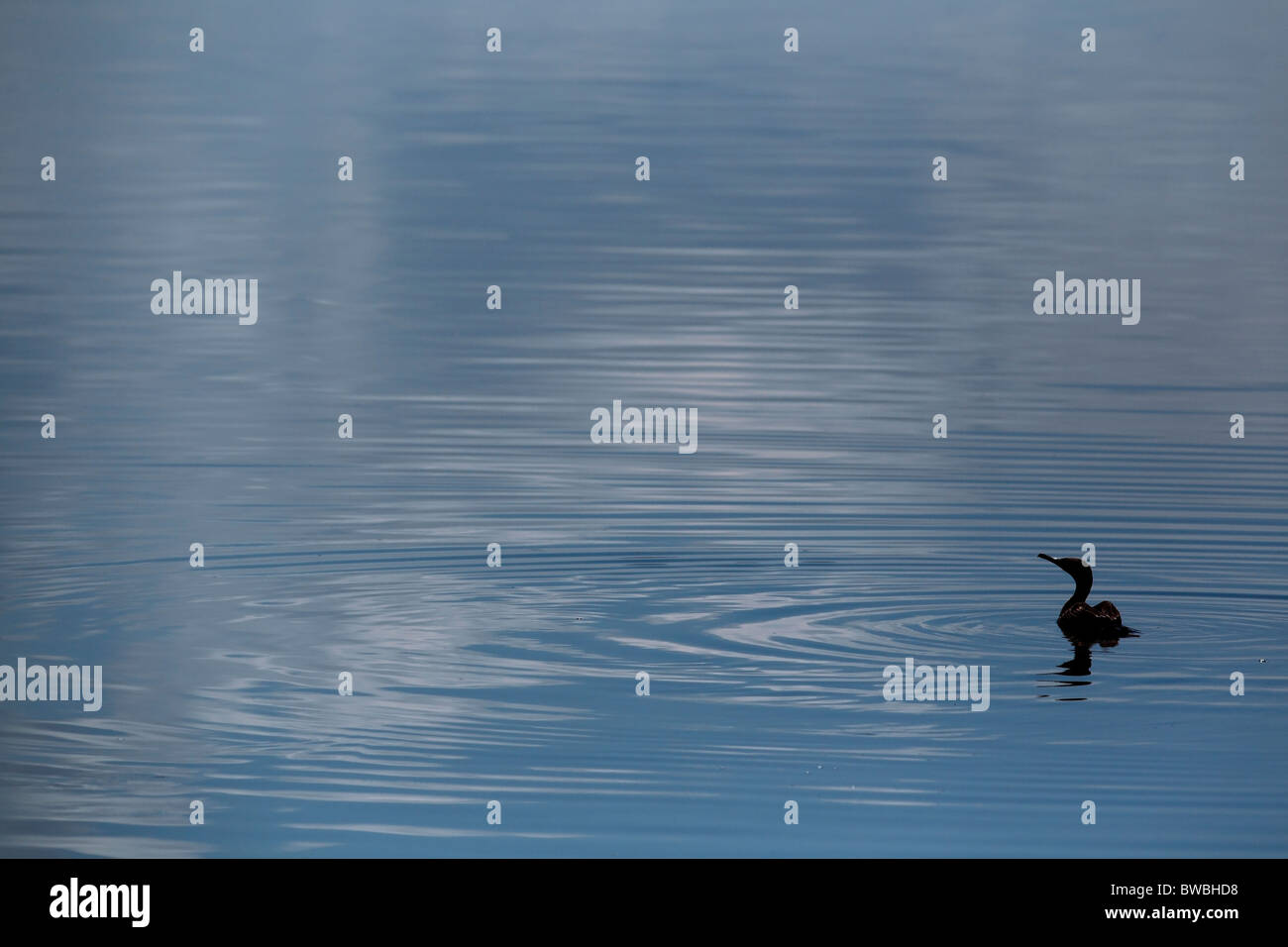 Great Cormorant on Lake Nakuru, Kenya. - Stock Image