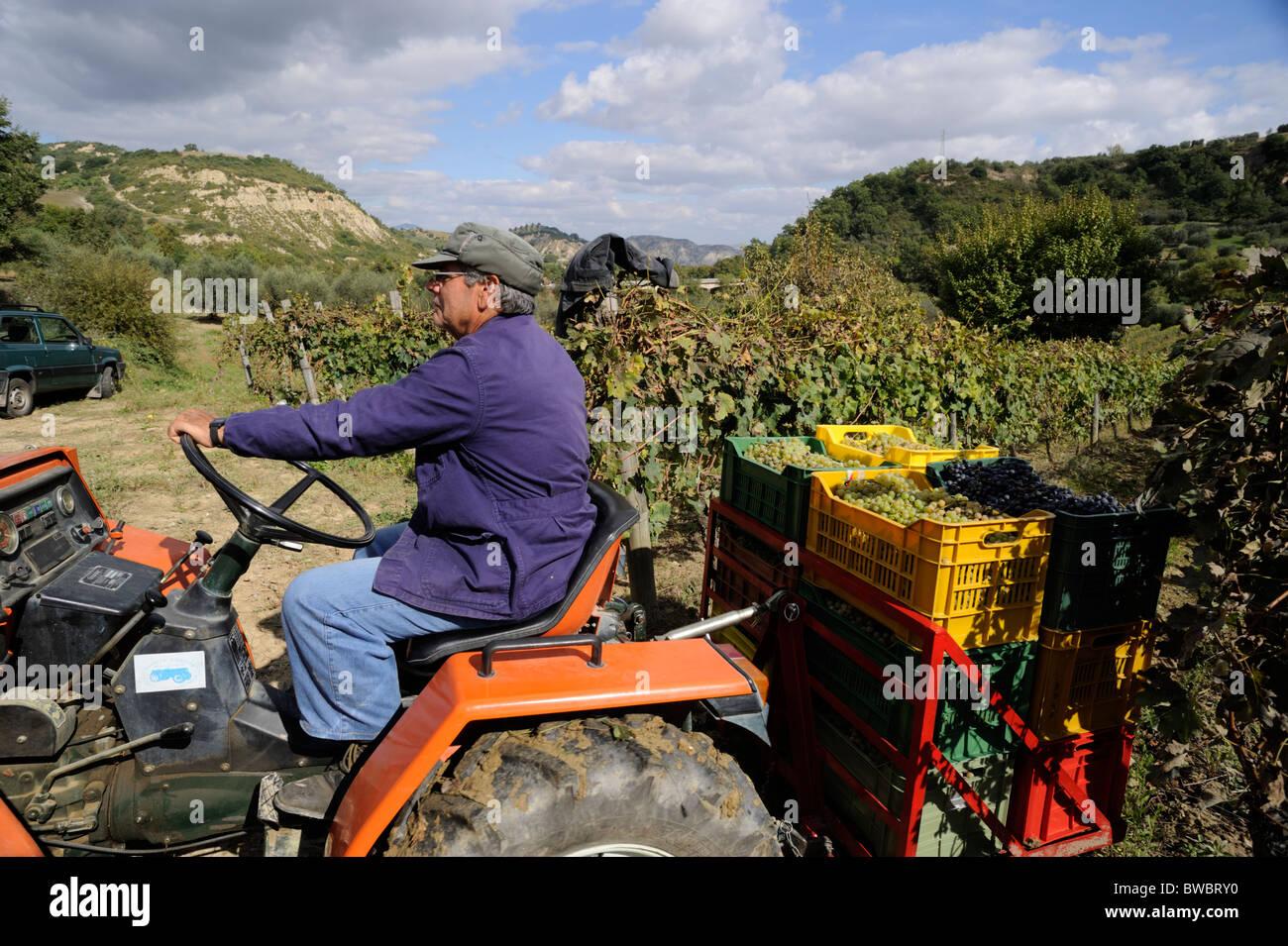 italy, basilicata, vineyards, grape harvest, tractor - Stock Image