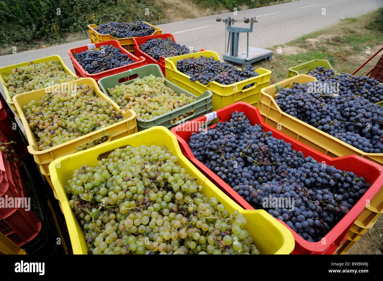 italy, basilicata, grape harvest - Stock Image