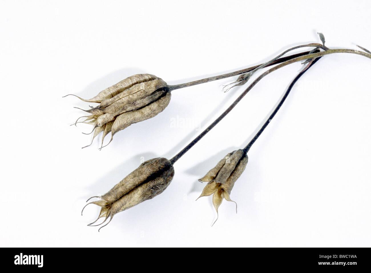 Columbine, Granny´s Bonnet (Aquilegia vulgaris), seed pods, studio picture. Stock Photo