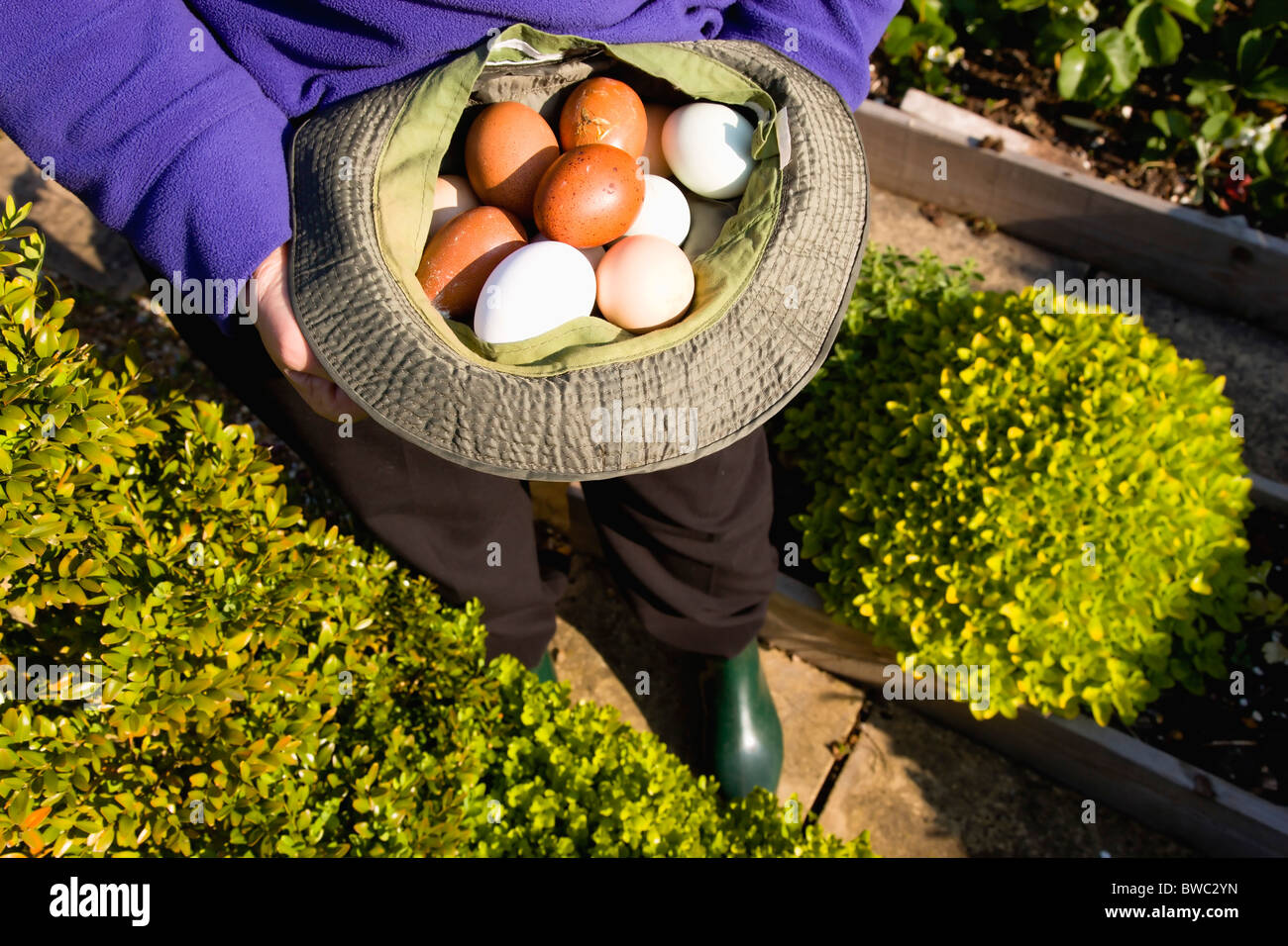 Agriculture, Poultry, Chickens, Lady in her allotment holding a hat containing a variety of free range eggs - Stock Image