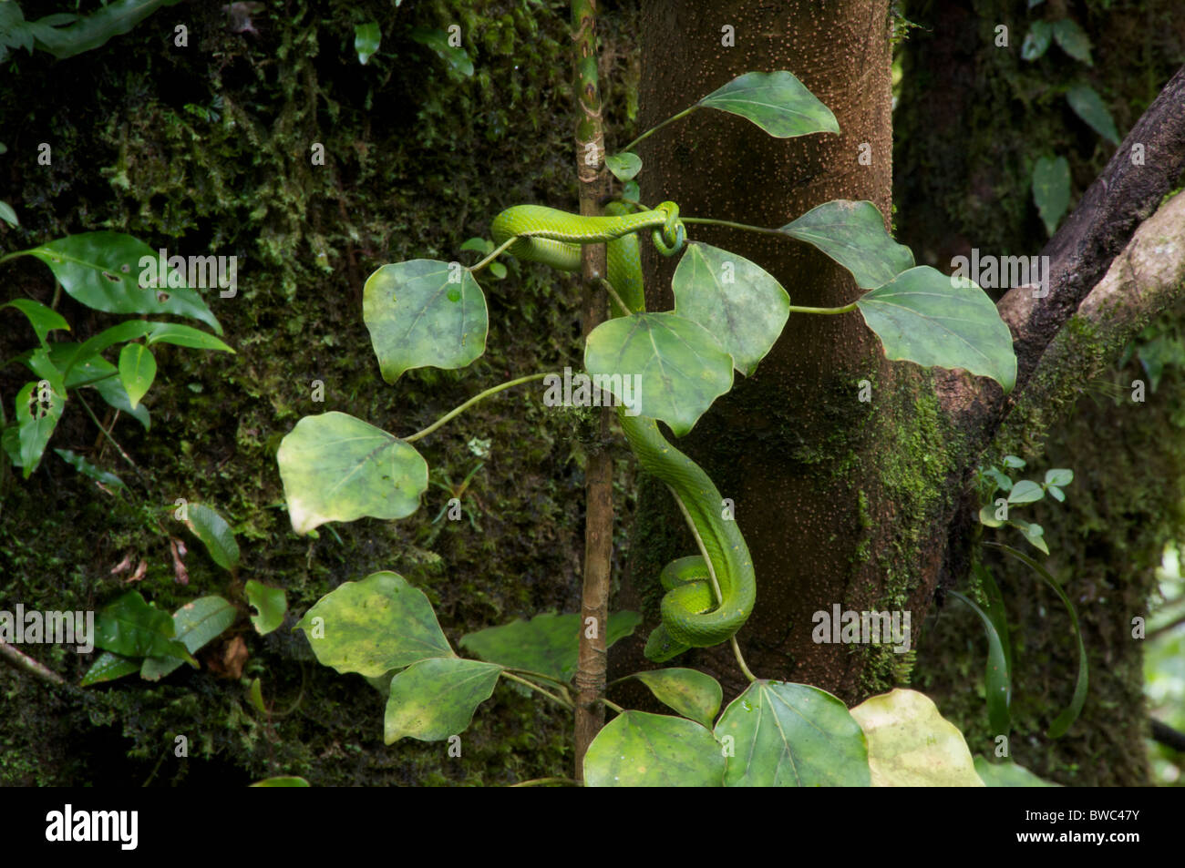 A Side-striped Palm Pit Viper (Bothriechis lateralis) hanging by its tail at the Monteverde Cloud Forest Reserve, - Stock Image