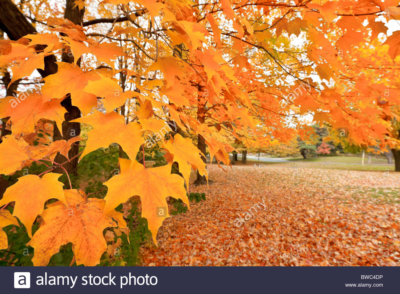 Maple Tree in autumn colour in High Park in Toronto Ontario Canada - Stock Image
