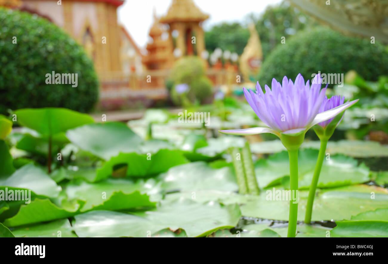 Lila-blue lotus - Stock Image