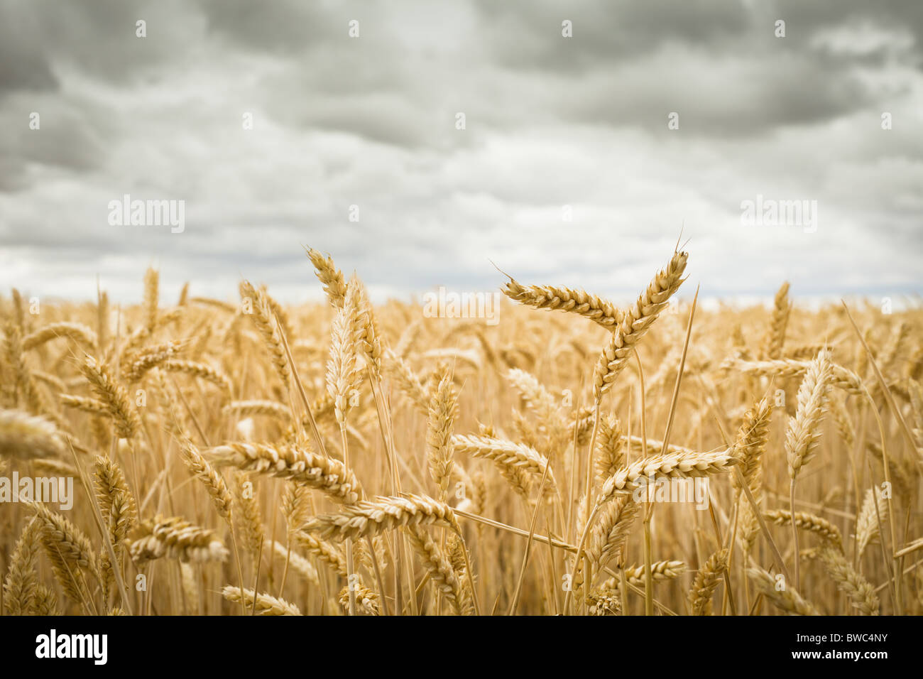 Field of Crops - Stock Image