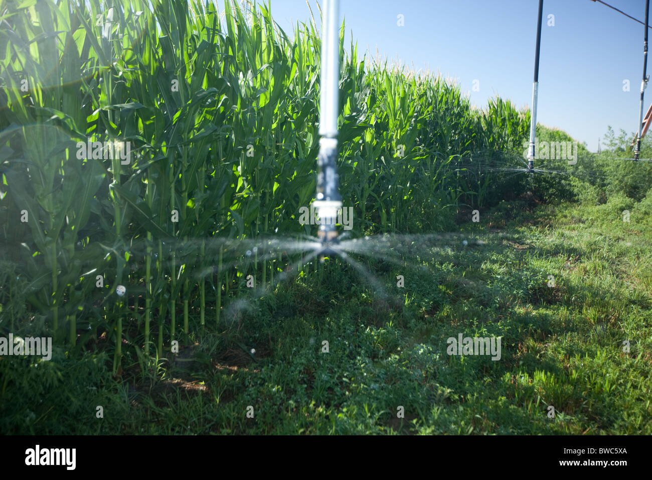 Sprinkler head sprays water onto field of corn in agricultural area of Texas Panhandle. - Stock Image