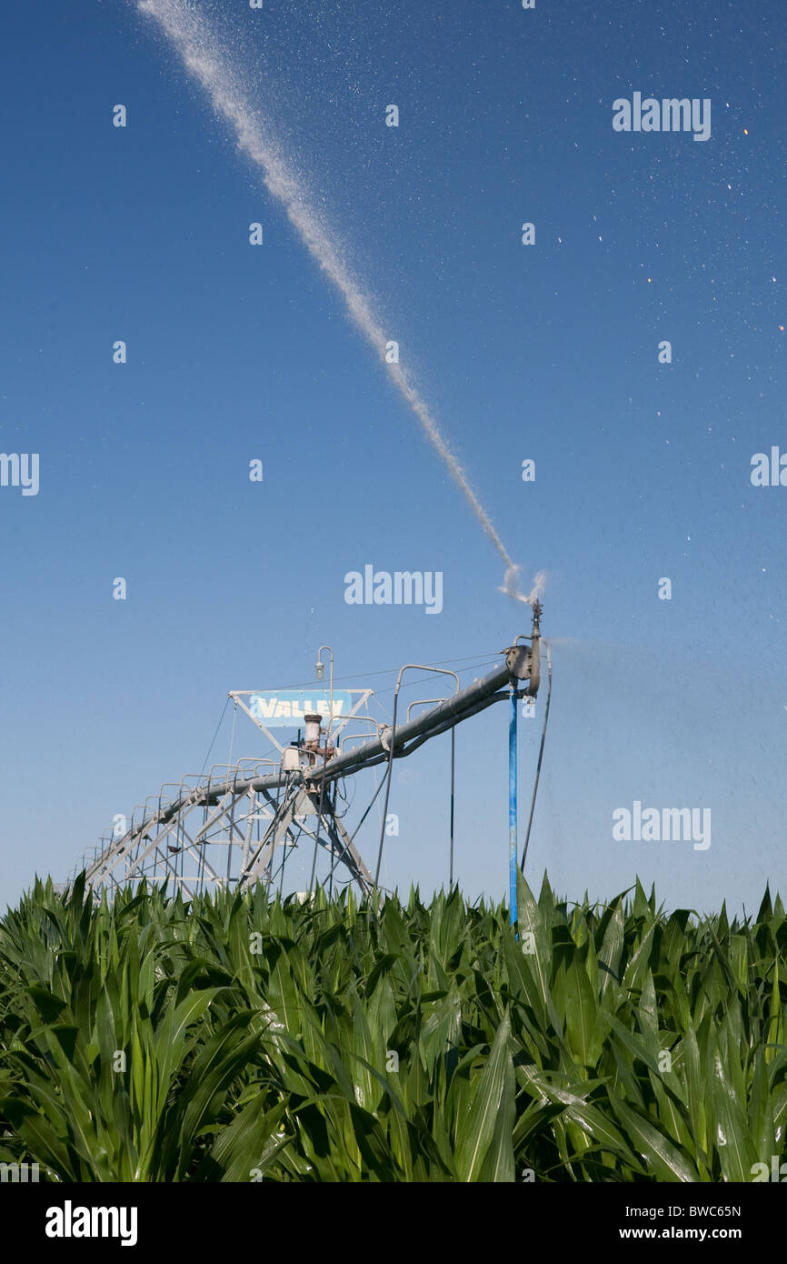 Sprinkler head shoots water onto field of corn in agricultural area of Texas Panhandle. - Stock Image