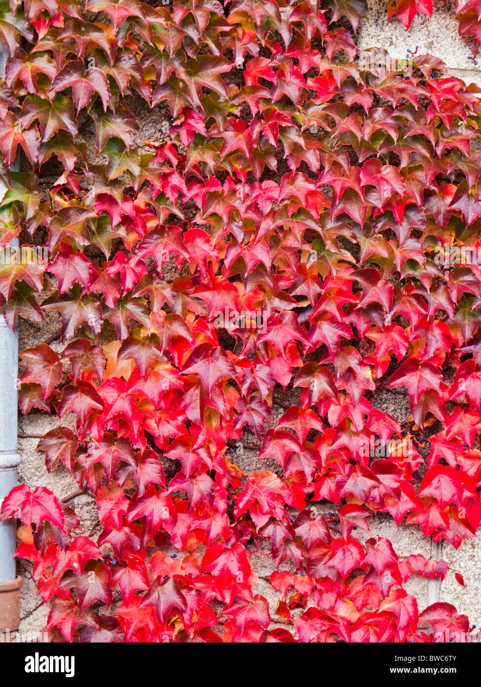 Red Ivy autumn leaves covering a wall - Stock Image