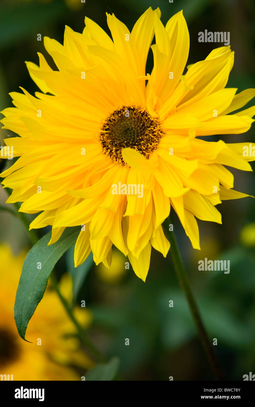 HELIANTHUS MONARCH SUNFLOWER - Stock Image