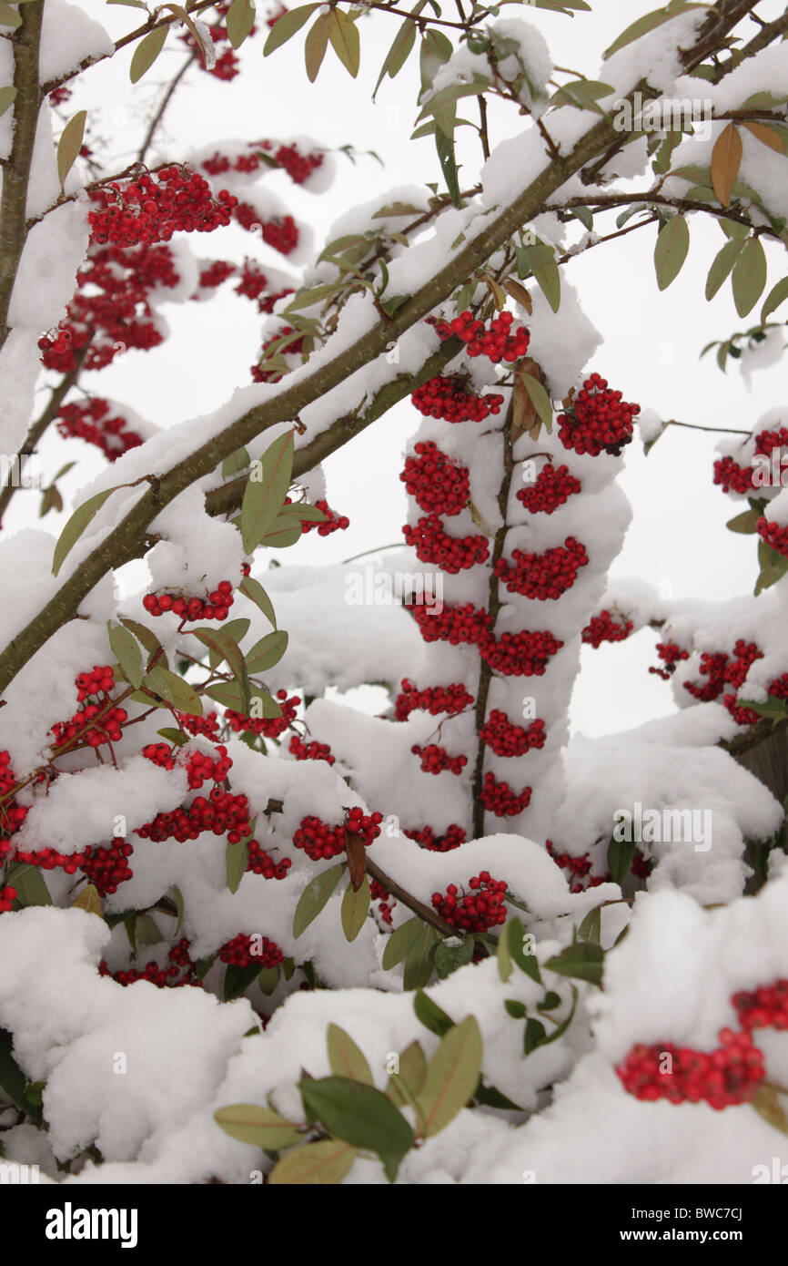 Winter Snow fall Gathered onto a red berry bush - Stock Image