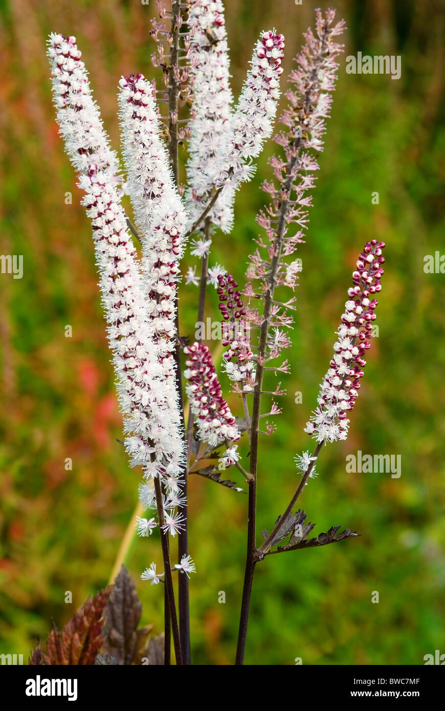 Actaea Simplex Atropurpurea Group Pink Spike Bugbane Stock Photo