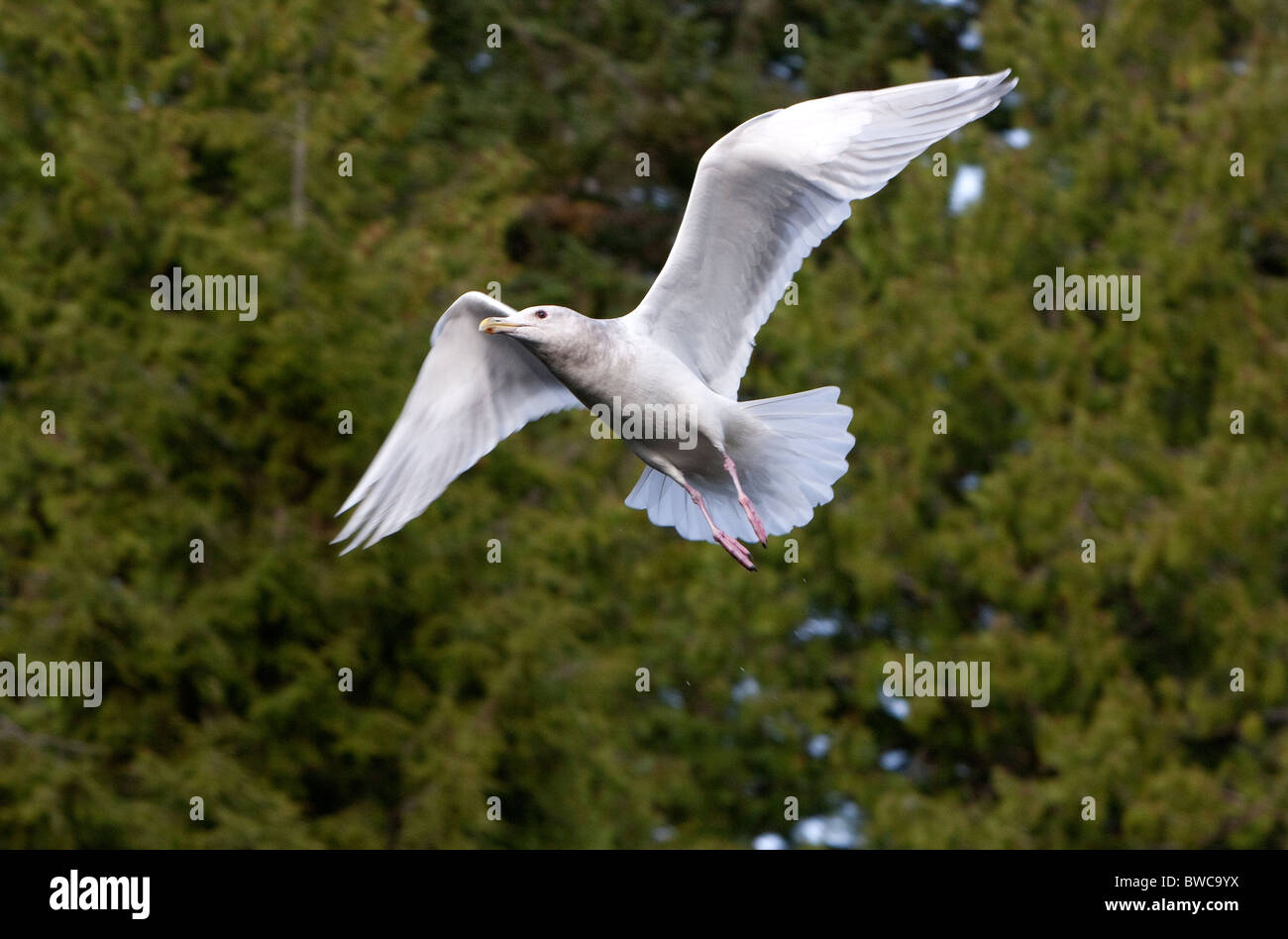 Glaucous-winged Gull Larus glaucescens in flight along river at Thornton Creek Ucluelet Vancouver Island BC in October - Stock Image