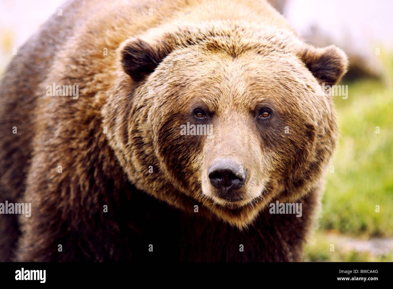 Brown Bear looking at the camera - Stock Image