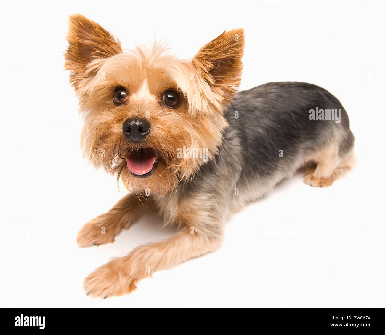 Studio shot of yorkshire terrier Stock Photo