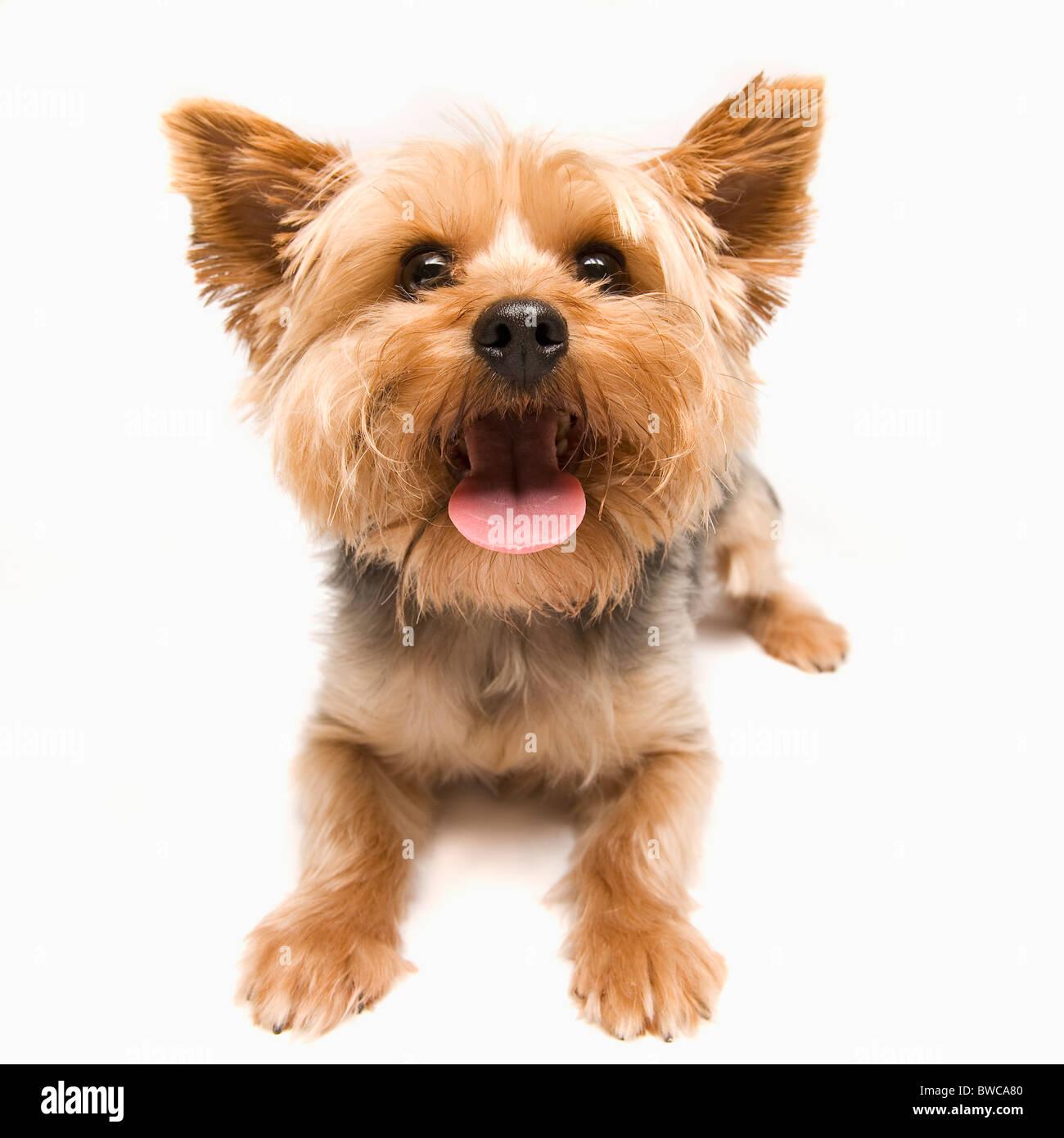 Studio shot of yorkshire terrier - Stock Image