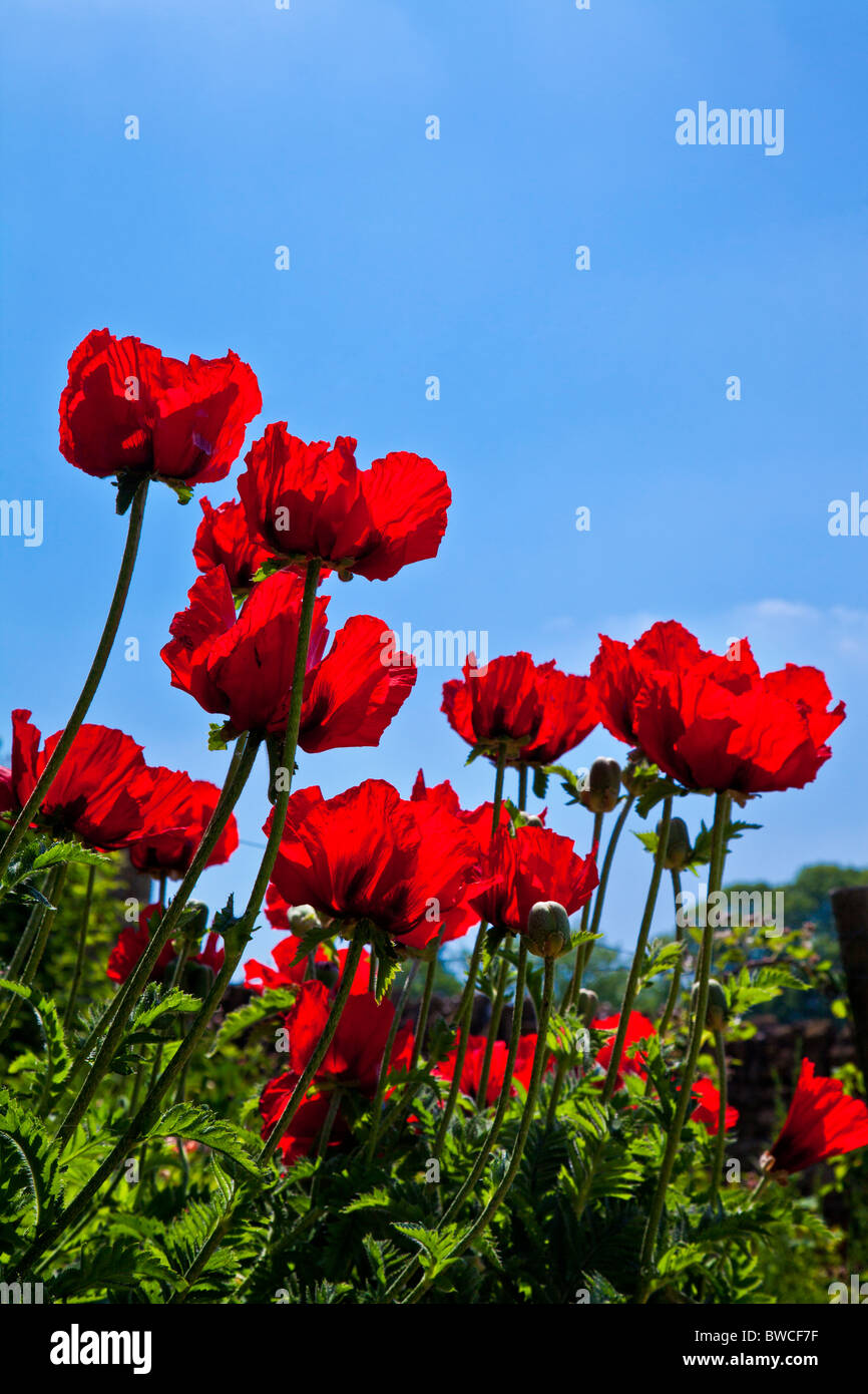 Red poppies, Papaver, in a garden against a clear blue sky - Stock Image