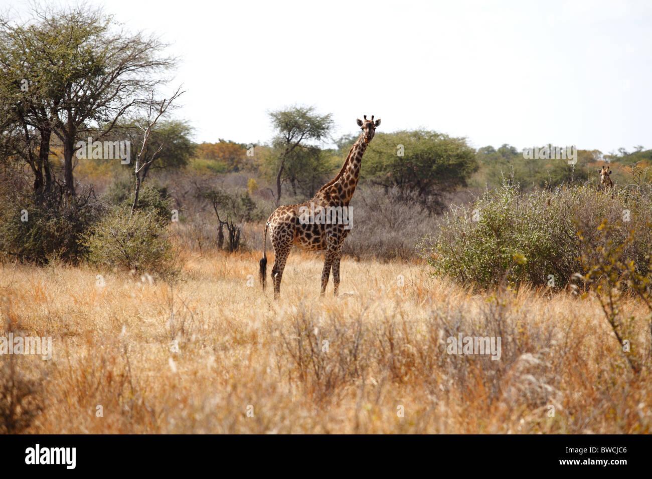 Giraffe in Hwange National Park, Zimbabwe Stock Photo