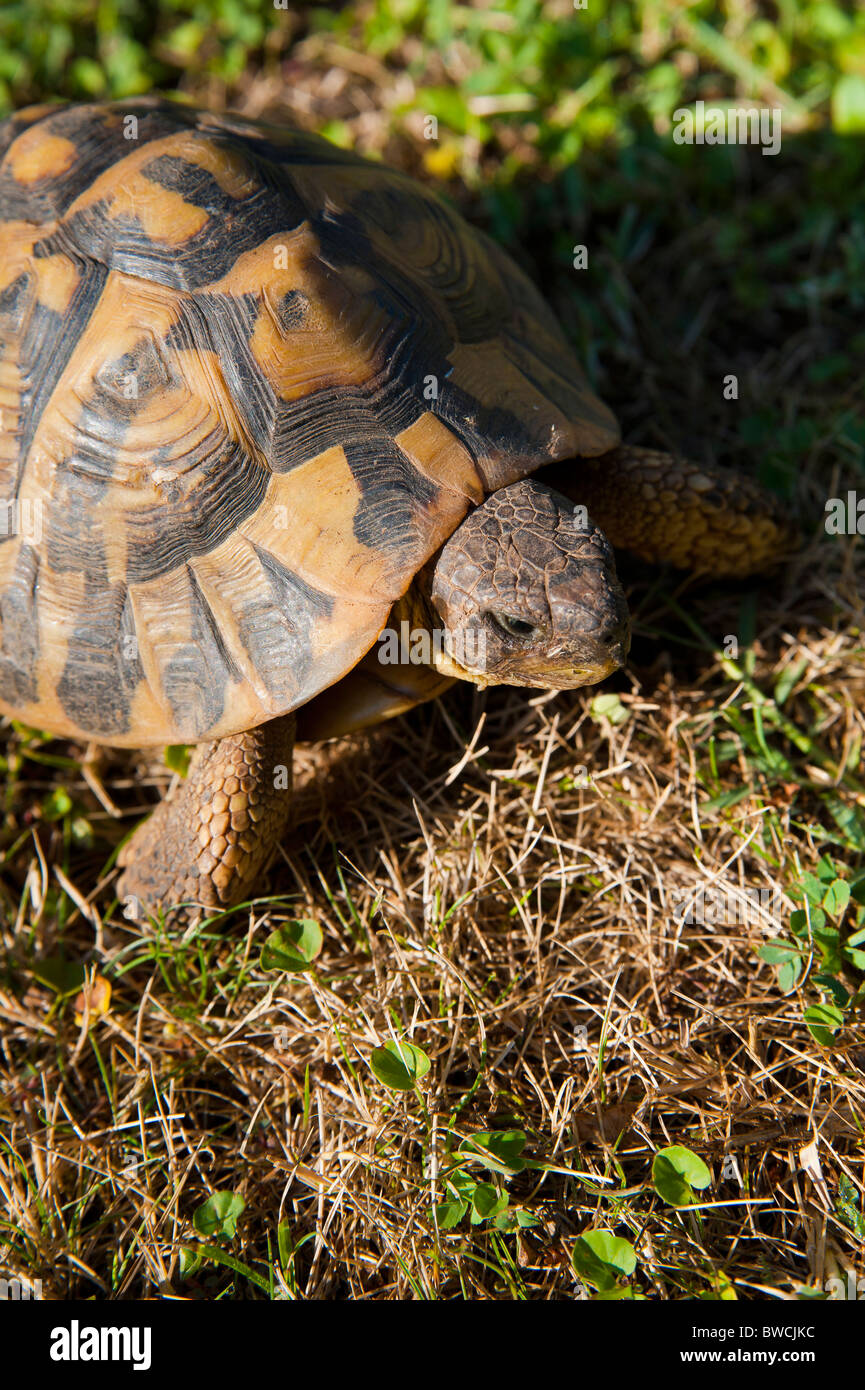 A turtle on a grass field - Stock Image