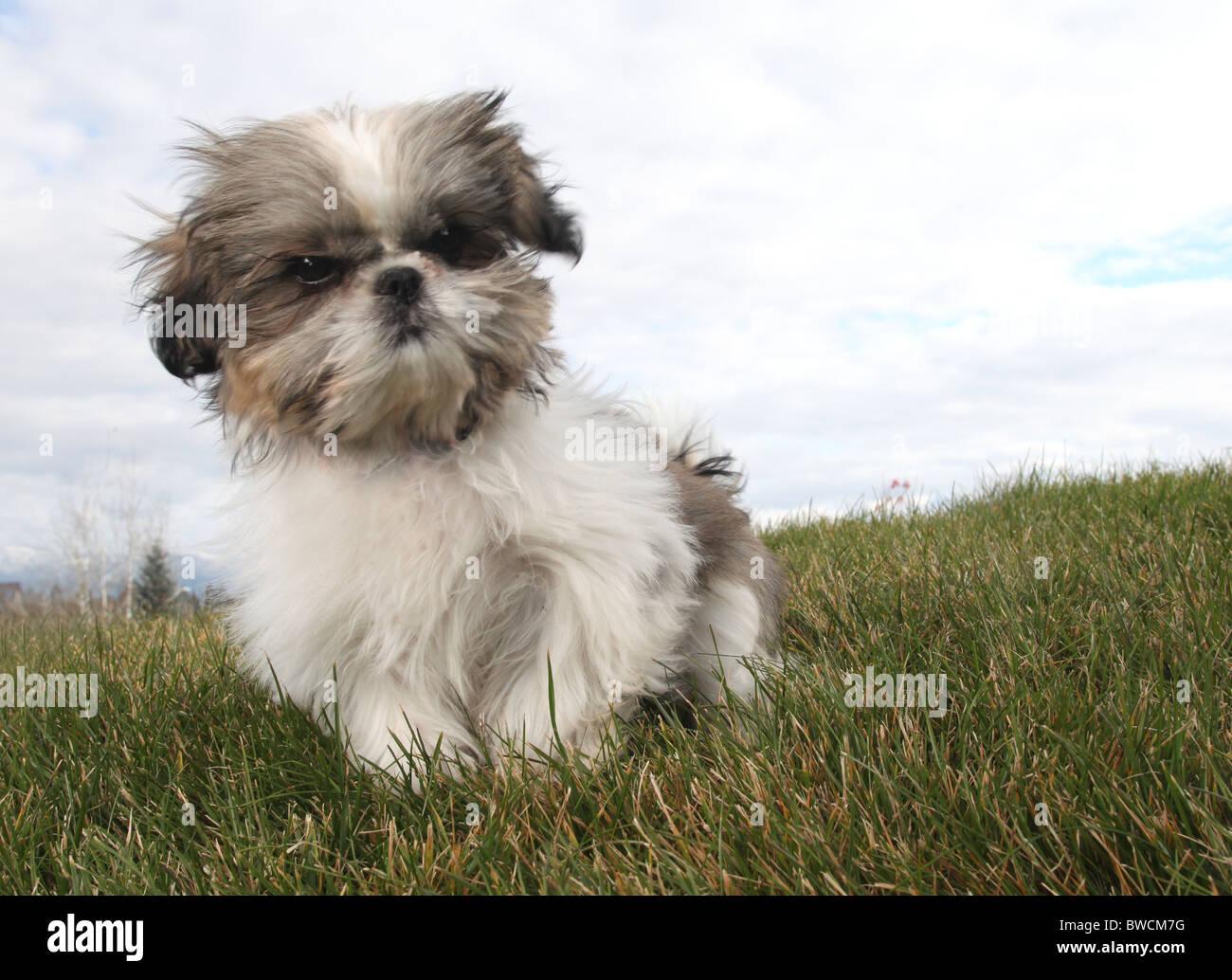 fluffy Shitsu puppy sitting on green grass - Stock Image