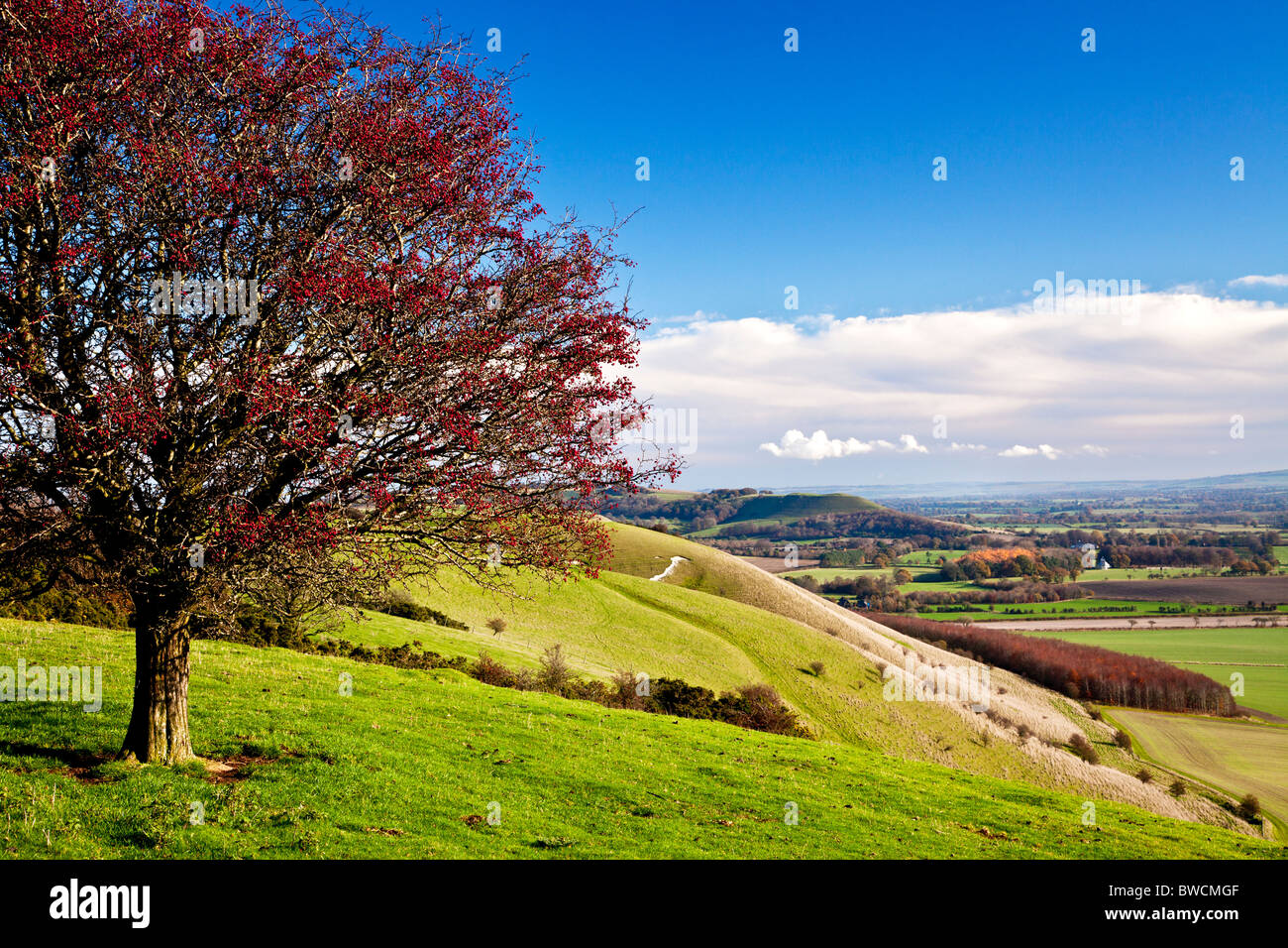 Hawthorn or May tree with red berries on Knapp Hill overlooking the Vale of Pewsey in Wiltshire, England, UK - Stock Image