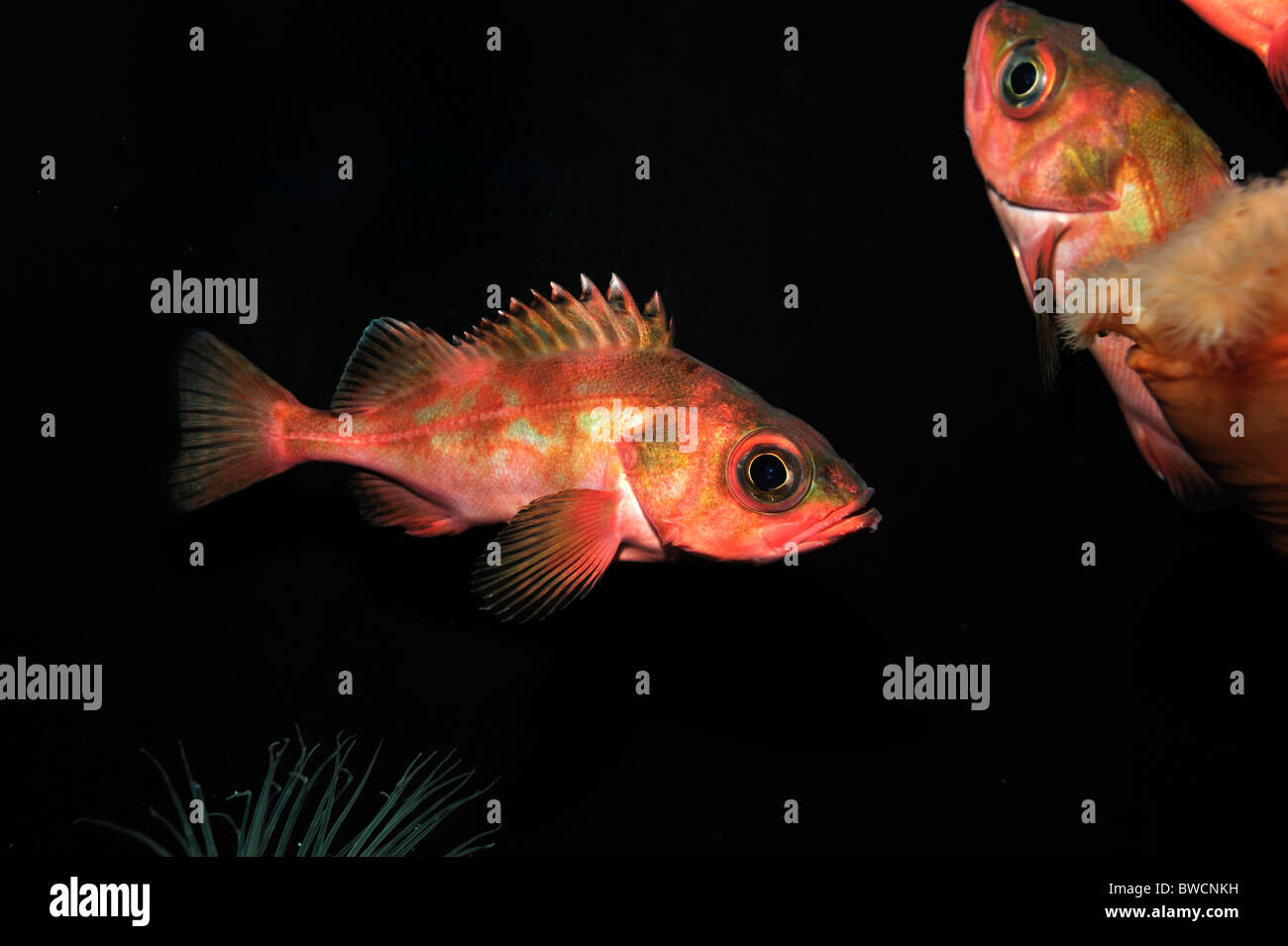 Splitnose rockfish, Sebastes diploproa, captive - Stock Image