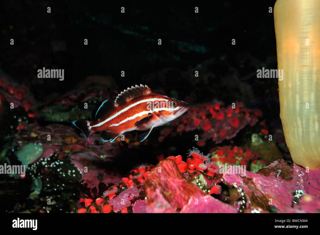 Yelloweye rockfish, Sebastes ruberrimus, juvenile, threatened, captive - Stock Image