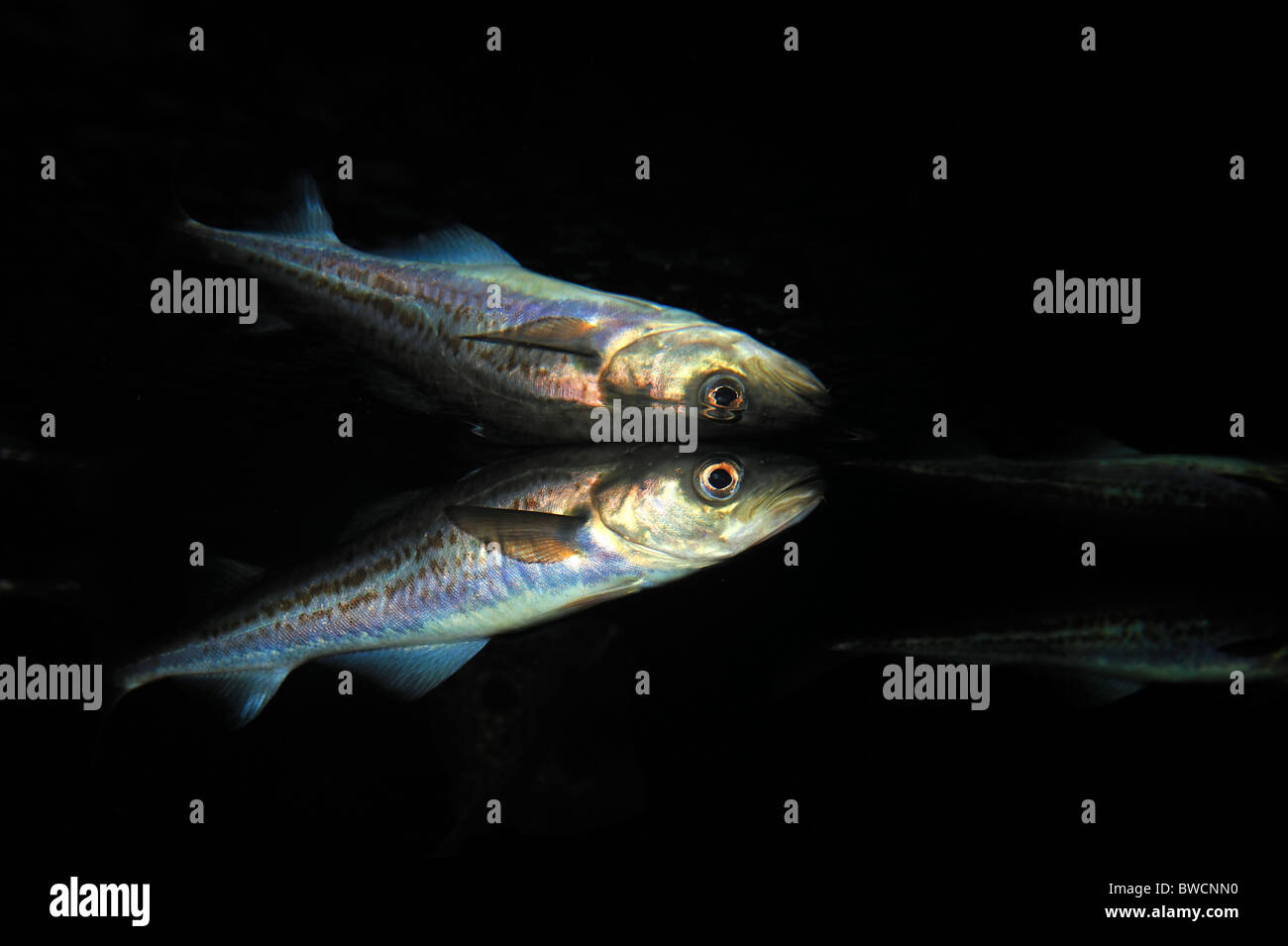 Walleye pollock, Theragra chalcogramma, captive - Stock Image