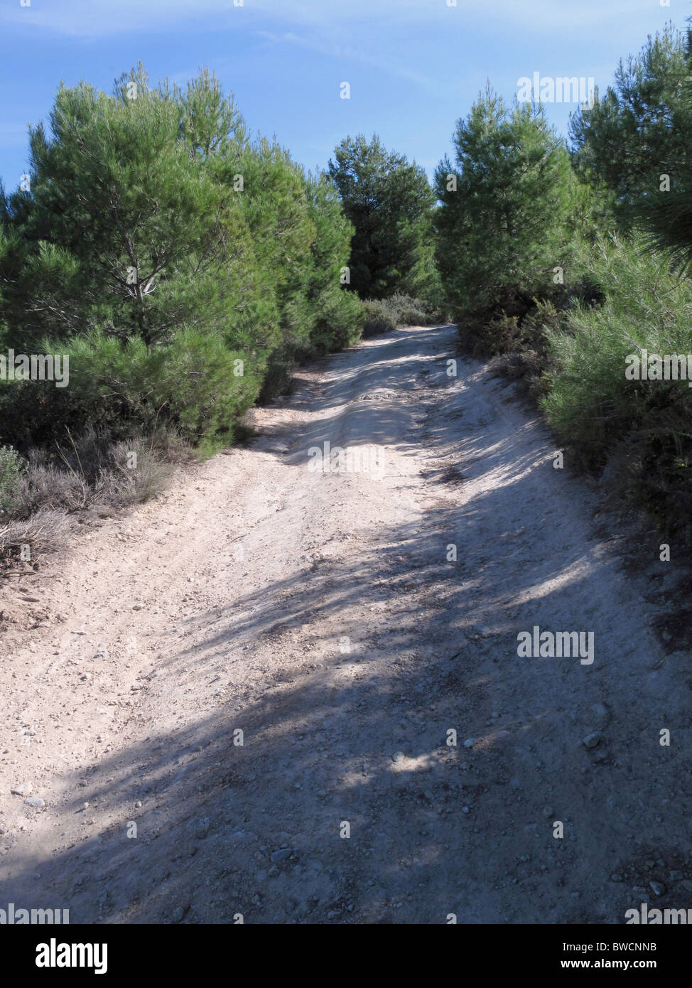 Rough country dirt track amongst young pine trees. - Stock Image