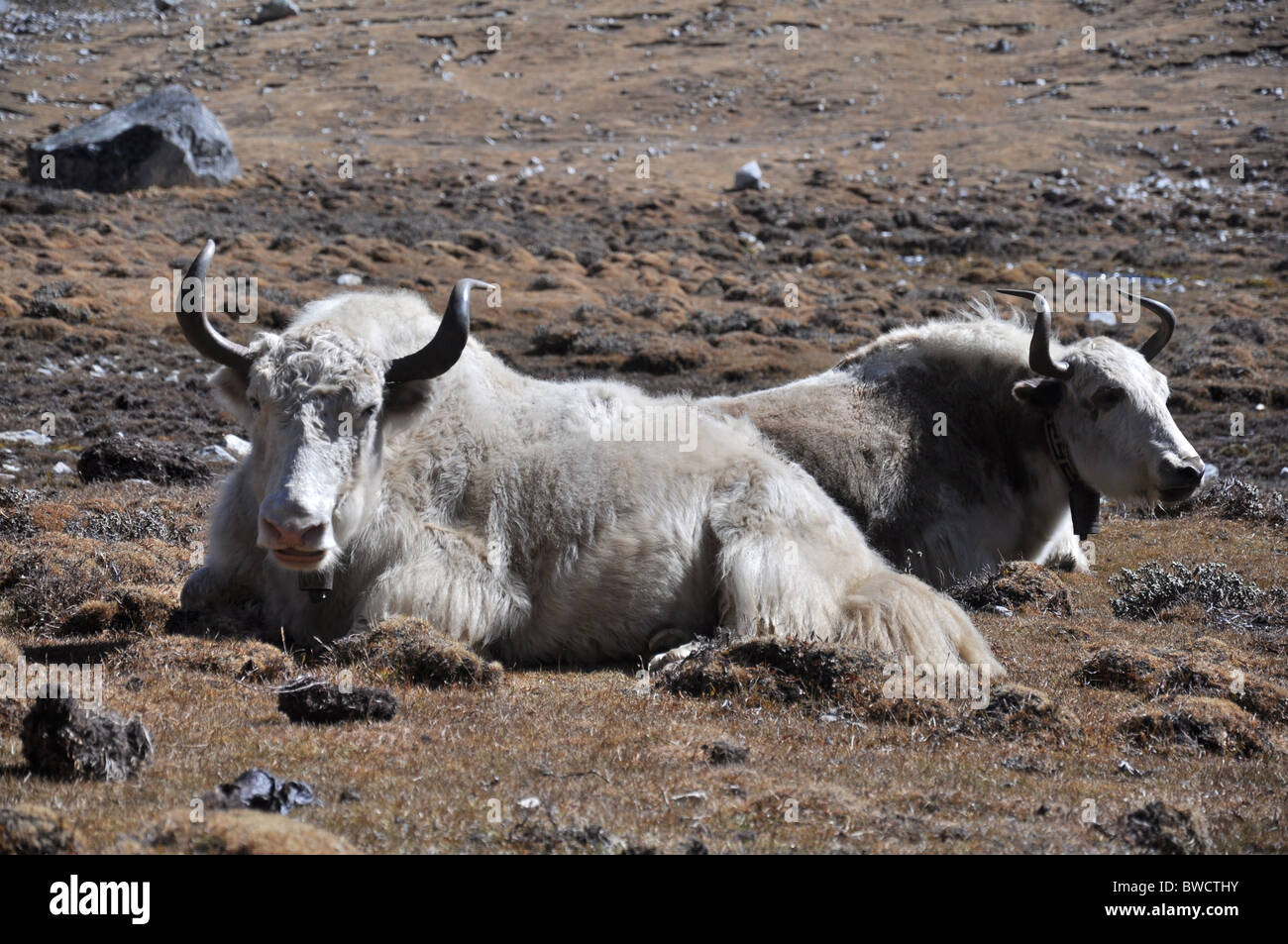 Pair of Yaks near Gokyo in the high Himalaya, Nepal - Stock Image
