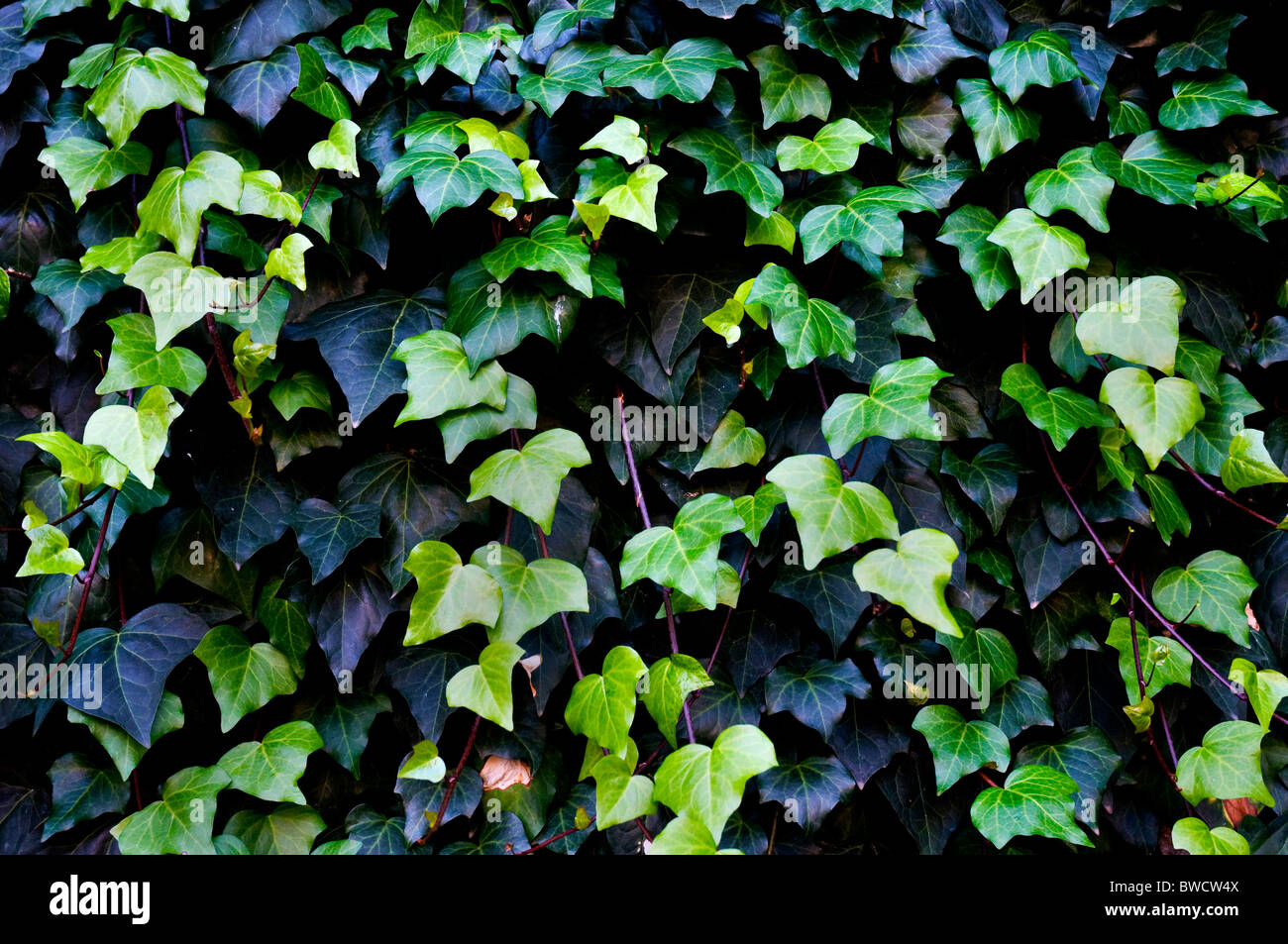 Close up shots of a common ivy - Stock Image