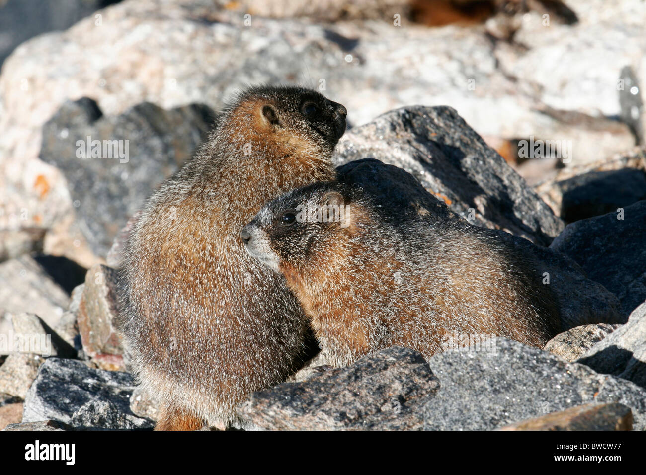 Two young marmots getting some sun - Stock Image