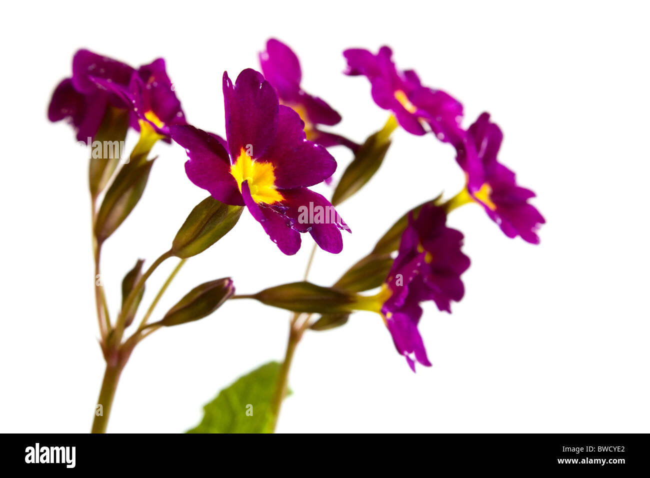 beautiful bright flowers primroses on a white background Stock Photo