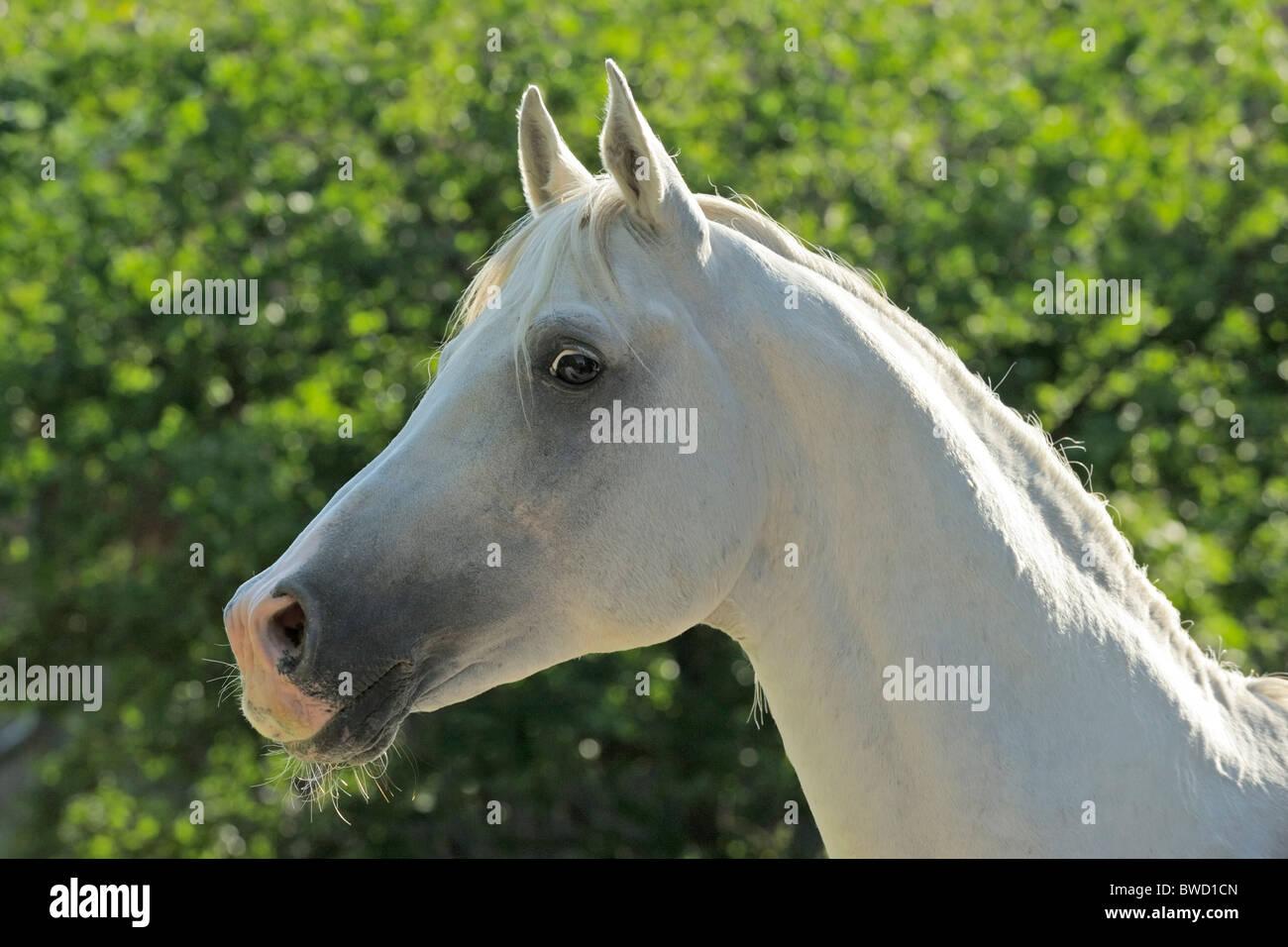 Arab horse stallion - Stock Image